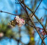 Papillon d'amiral rouge rassemblant le pollen du buisson fleurissant Image libre de droits