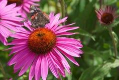 Papillon d'amiral rouge se reposant sur un echinacea lumineux et coloré Photographie stock libre de droits