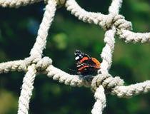 Papillon d'amiral rouge se reposant sur un filet de corde Photo stock