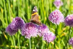 Papillon d'amiral rouge sur la fleur de ciboulette, côté, macro Photos stock