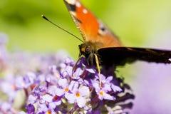 Papillon d'amiral rouge sur le buddleia Image libre de droits