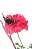 Papillon d'amiral sur une fleur de géranium d'isolement sur le blanc Image libre de droits