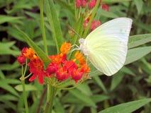 Papillon d'amour suçant la fleur de nectar Photos stock