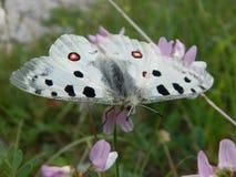 Papillon d'Apollo dans le sanctuaire photographie stock