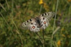 Papillon d'Apollo de montagne (Parnassius Apollo) photo libre de droits