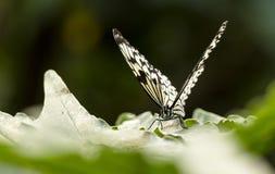 Papillon d'arbre-nymphe de Malabar Photo stock