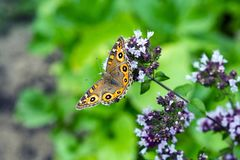 Papillon d'Argus de pré sur l'origan fleurissant images stock