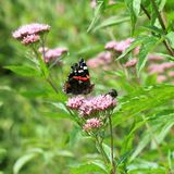 Papillon d'atalanta d'amiral rouge Vanessa Photographie stock libre de droits