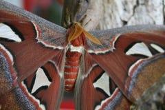 Papillon d'atlas dans l'atlas d'Attacus d'habitat naturel photo stock