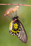 Papillon d'or d'aeacus de Birdwing Troides Images libres de droits