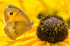 Papillon d'entrée Images libres de droits
