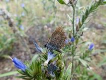 Papillon d'Idas avec l'aile endommagée Photo libre de droits