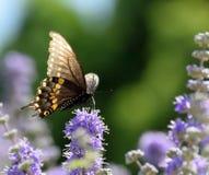 Papillon d'INDRA de Papilio Photographie stock