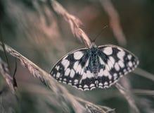 Papillon d'insecte blanc et brun seulement sur un plan rapproché d'herbe en couleurs photographie stock