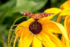 Papillon d'oeil de paon se reposant sur une fleur jaune Photographie stock libre de droits