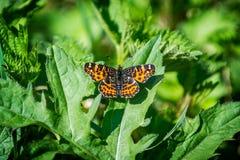 Papillon d'Orannge dans l'herbe Image stock