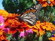 Papillon d'une fleur Photo libre de droits