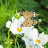 Papillon dans l'amour sur les fleurs blanches de cosmos Photographie stock