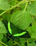 Papillon dans le lowi de Papilio de couleurs vertes ou le mormon cramoisi photographie stock