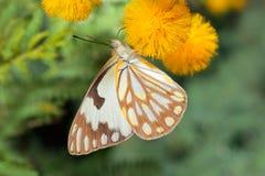 Papillon de alimentation Photographie stock