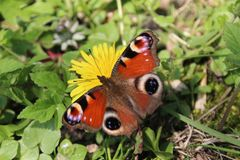 Papillon de Beauteful sur le pissenlit photographie stock