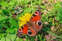 Papillon de Beauteful sur le pissenlit images libres de droits