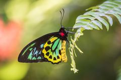 Papillon de Birdwing de cairns dans l'arrangement tropical Image stock