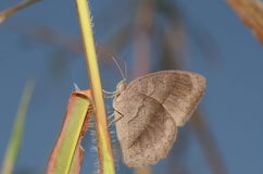 Papillon de Brown Photo libre de droits