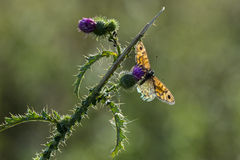 Papillon de Brown de mur alimentant sur des fleurs Photographie stock libre de droits