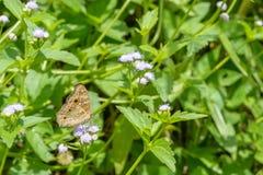 Papillon de Brown sur la fleur dans le jardin Images libres de droits