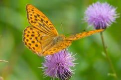 Papillon de Brown sur la fleur pourpre Image stock
