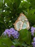 Papillon de Brown sur la fleur pourpre Photo stock