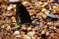 Papillon de brun foncé avec les taches blanches Photo stock