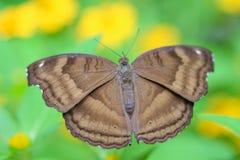 Papillon de brun de vue supérieure dans le jardin images stock