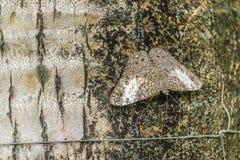 Papillon de camouflage au jardin botanique, Guayaquil, Equateur Image libre de droits