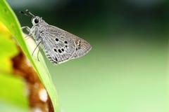 Papillon de capitaine Images stock