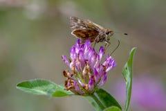 Papillon de capitaine alimentant sur une fleur de trèfle violet photographie stock libre de droits