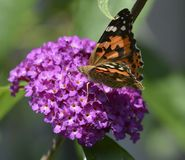 Papillon de chardon Photos stock