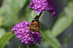 Papillon de chardon Image stock