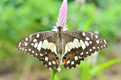 Papillon de chaux sur la fleur image stock