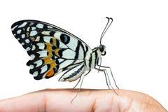Papillon de chaux, vue de côté photo libre de droits
