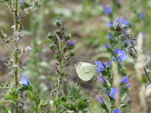 Papillon de chou blanc recherchant le nectar Photo libre de droits