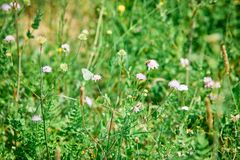 Papillon de chou blanc sur un pré photos libres de droits