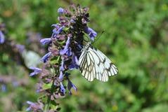 Papillon de chou (macro) photo libre de droits