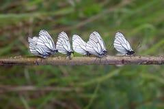 Papillon de chou sept photographie stock