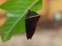 Papillon de cocon Photos libres de droits