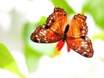 Papillon de colley sur la fleur dans la volière image stock
