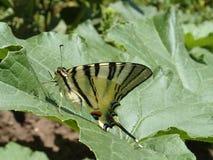 Papillon de conte d'hirondelle Image stock