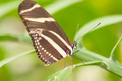 Papillon de Costa Rican Photo libre de droits