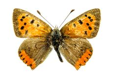 Papillon de cuivre commun Images libres de droits